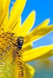 Un escarabajo en un suflower Fotos de archivo libres de regalías