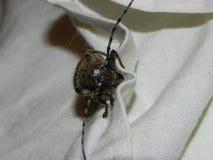 Un escarabajo grande del fonolocalizador de bocinas grandes del escarabajo Un escarabajo enorme con un bigote grande Detalles y p imágenes de archivo libres de regalías