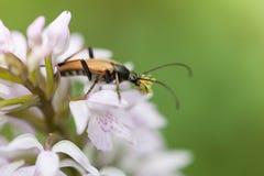 Un escarabajo mustachioed Imagen de archivo libre de regalías