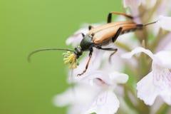 Un escarabajo mustachioed Fotografía de archivo libre de regalías