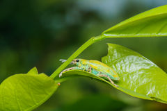 Un escarabajo que se acopla en la hoja verde Fotografía de archivo