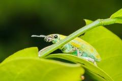 Un escarabajo que se acopla en la hoja verde Imagen de archivo