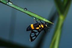 Un escarabajo que se acopla en la hoja verde Fotografía de archivo libre de regalías