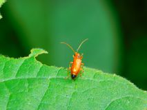 Un escarabajo rojo común del soldado fotos de archivo