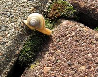 Un escargot Photos libres de droits