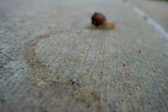 Un escargot fonctionnant loin comme il laisse une traînée gluante derrière photos libres de droits