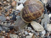 Un escargot rampe le long des roches Photo libre de droits