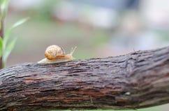 Un escargot sous la pluie, escargot dans le jardin sur le bois Photographie stock libre de droits
