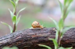 Un escargot sous la pluie, escargot dans le jardin sur le bois Images libres de droits