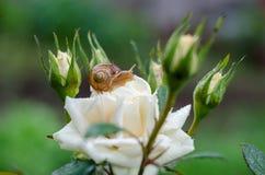 Un escargot sous la pluie, escargot dans le jardin sur la rose blanche Photos libres de droits