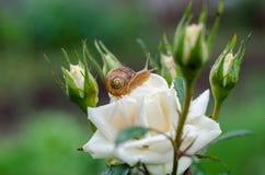 Un escargot sous la pluie, escargot dans le jardin sur la rose blanche Image stock