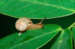 Un escargot sur la lame Photo libre de droits
