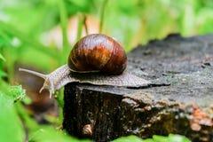 Un escargot sur un vieux tronçon d'arbre après une pluie sur le fond avec l'effet de bokeh Photo libre de droits