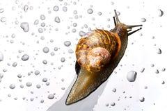 Un escargot sur une surface en verre Image stock