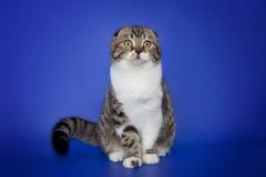 Un escocés lindo dobla el gato en un fondo azul marino Fotos de archivo libres de regalías