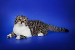 Un escocés lindo dobla el gato en un fondo azul marino Imágenes de archivo libres de regalías