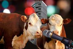 Un'esecuzione di due mucche Immagine Stock
