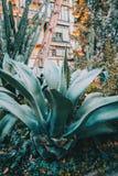 Un esemplare molto grande del ferox dell'agave Immagini Stock