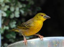 Un especie de ave de color verde amarillo Fotos de archivo