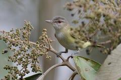 Un especie de ave de ojos enrojecidos encaramado en un árbol - Panamá de la migración imagenes de archivo