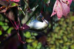 Un especie de ave Red-eyed Foto de archivo
