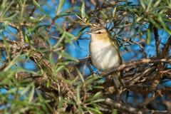 Un especie de ave Red-eyed fotos de archivo