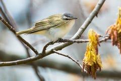 Un especie de ave Red-eyed imagen de archivo libre de regalías