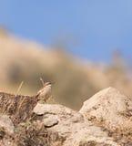 Un especie de ave Red-Eyed en las rocas foto de archivo libre de regalías