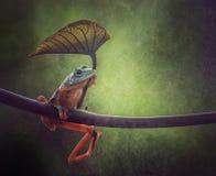 Un espoir de grenouille d'arbre dans le pluvieux photographie stock