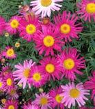 Un'esposizione dell'estate delle pratoline rosa del capo fiorisce Immagini Stock