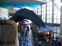 Un'esposizione enorme della balena blu dentro il complesso principale Acquario del Pacifico, Long Beach, California, U.S.A. immagini stock libere da diritti