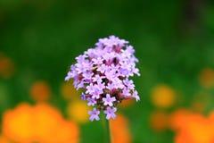 Un'esposizione floreale della campanula adorabile fiorisce nei colori bianchi, porpora e viola-blu fotografia stock libera da diritti