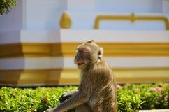 Un'espressione del ` s della scimmia nell'area di tempio immagine stock