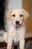 Un'espressione sveglia sul cucciolo dorato di labrador immagini stock