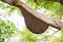 Un essaim des abeilles de miel Photo libre de droits