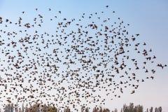 Un essaim des oiseaux Photo libre de droits