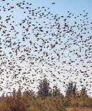 Un essaim des oiseaux Photos libres de droits