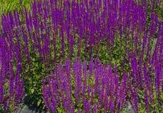 Un'estensione dei fiori della salvia porpora Immagini Stock