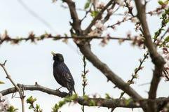 Un estornino del pájaro en un árbol floreciente canta Imágenes de archivo libres de regalías