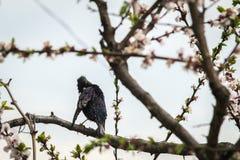 Un estornino del pájaro en un árbol floreciente limpia plumas Fotos de archivo libres de regalías