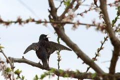 Un estornino del pájaro en un árbol floreciente se va volando para arriba Imágenes de archivo libres de regalías