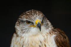 Un estudio del retrato de un halcón ferruginoso hermoso Fotografía de archivo libre de regalías