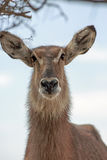 Un eup femelle d'isolement de fin de Waterbuck photographie stock