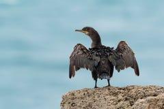 Un Européen, ou tapis à longs poils commune, arstotelis de Phalacrocorax, pe de l'oiseau marin Images libres de droits