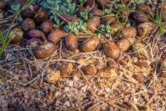 Un excremento salvaje de los alces, heces en el bosque, fondo natural El impulso de los alces encontró en el parque nacional de V Foto de archivo