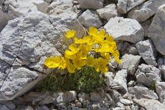 Un exemplaire de Pulsatilla Alpina photographie stock libre de droits