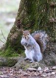 Un exemple gentil d'un écureuil image libre de droits