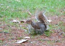 Un exemple gentil d'un écureuil photos stock