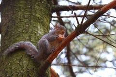 Un exemple gentil d'un écureuil images stock