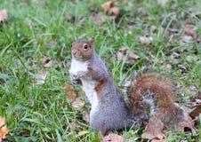 Un exemple gentil d'un écureuil photographie stock libre de droits